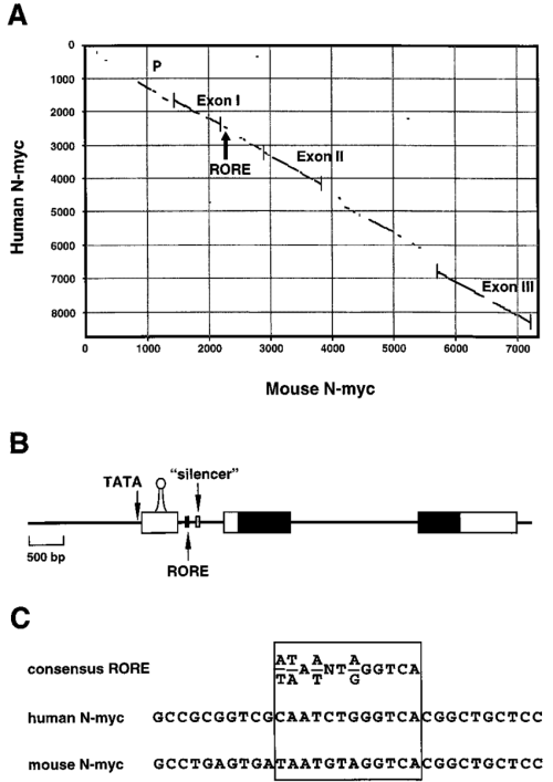 small resolution of the mouse and human n myc genes contain a rore a schematic