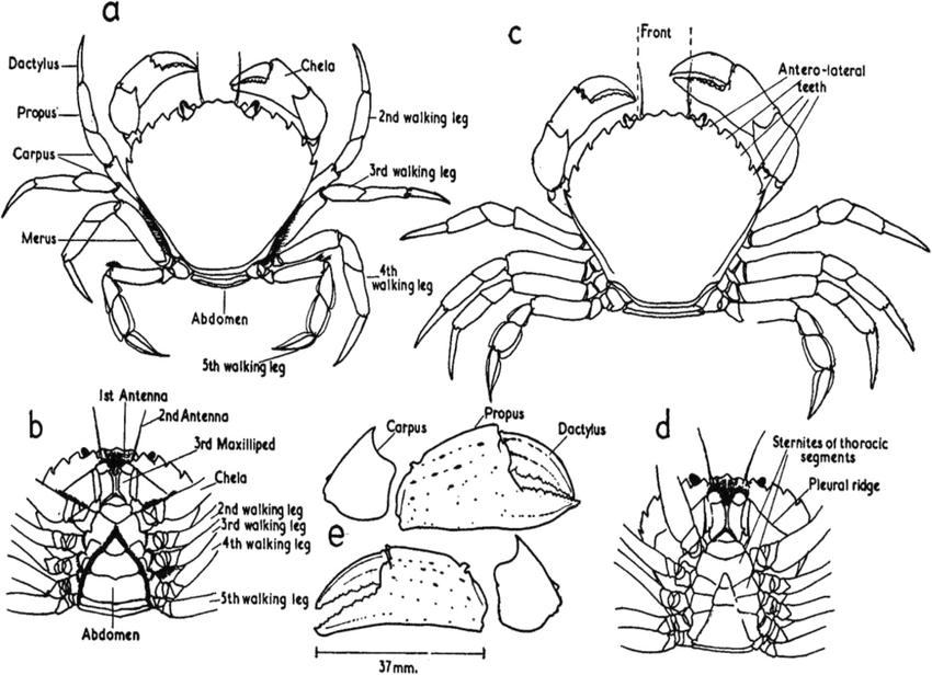 Anatomy and morphological criteria of Carcinus maenas