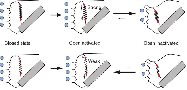 Structural rearrangement during C-type inactivation at the