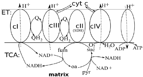 Scheme of electron transport chain (ET) and linked