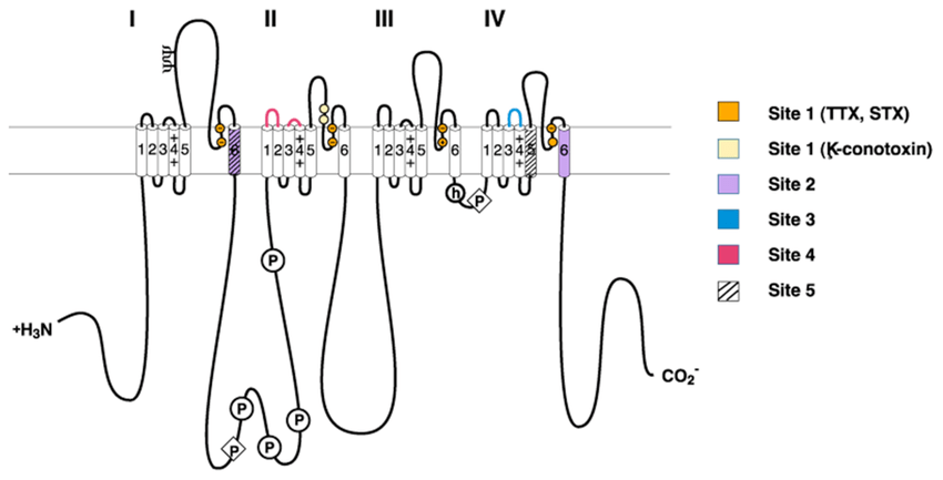 Neurotoxin receptor sites on voltage-gated sodium channels