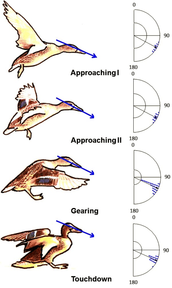 duck wing diagram balanced xlr wiring head position of mallard ducks in the four phases landing flight as estimated from photos