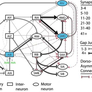 (PDF) Optogenetic analysis of Caenorhabditis elegans