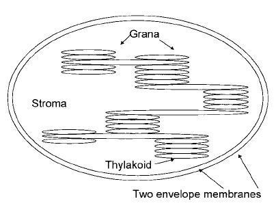 chloroplast diagram with labels bank network a schematic of the showing double membrane envelope enclosing system inner sacs thylakoids
