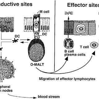 Labeled Diagram Of Virus HPV Virus Labeled Wiring Diagram