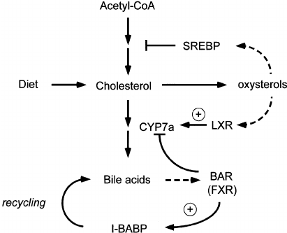 Role of LXR and BAR in the regulation of bile acid