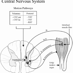 Reflex Arc Diagram 2003 Honda Civic Fuse Box Schematic Depicting The Stretch Or Myotatic Functions As A Regulatory Sensor For Changes In Muscle Length And