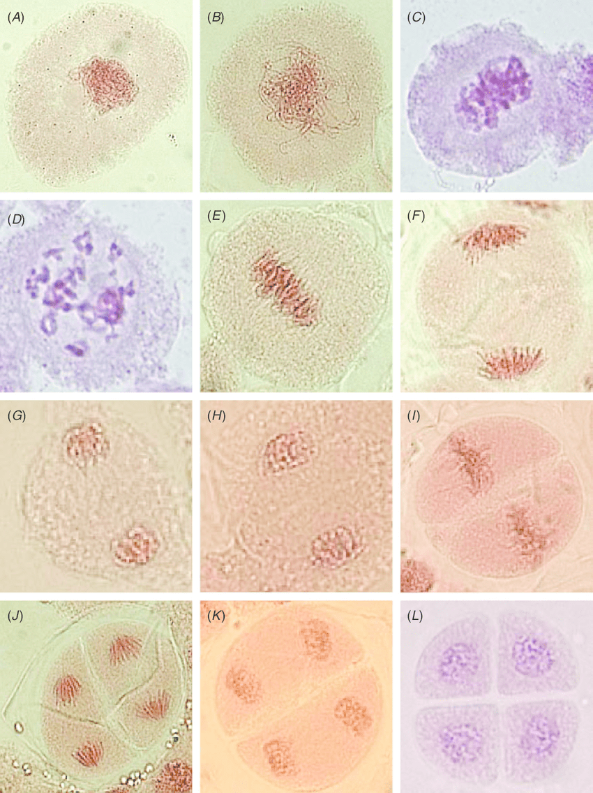 medium resolution of meiotic divisions i and ii as observed in wheat triticum aestivum a