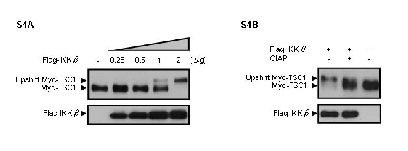 Figure S4. IKK β -induced TSC1 Mobility Shift Due to Phosphorylation | Download Scientific Diagram