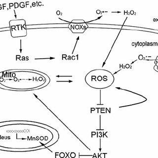 ROS-generated mitochondrial DNA (mtDNA) mutation-regulated
