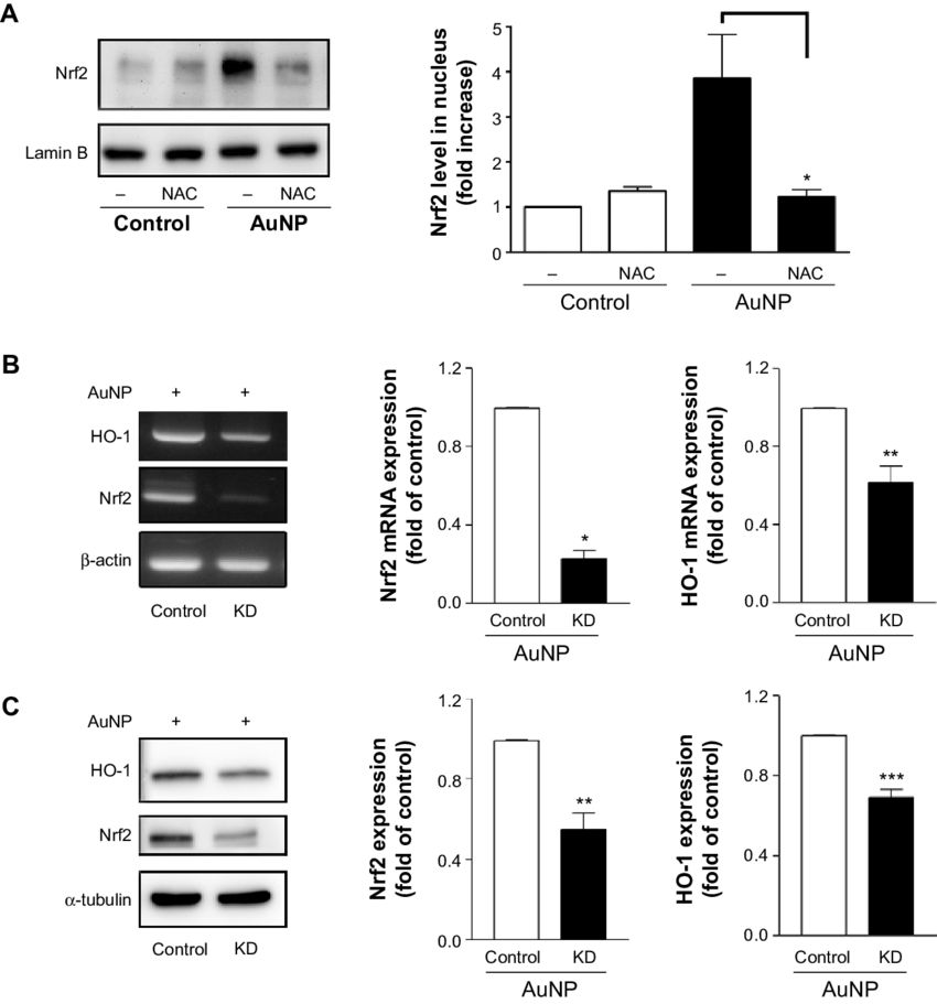 effects of Nac on Nrf2 translocation and Nrf2 KD on hO-1