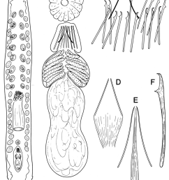 alaskaplana velox a habitus and organisation b female accessory pore with glands [ 850 x 1216 Pixel ]