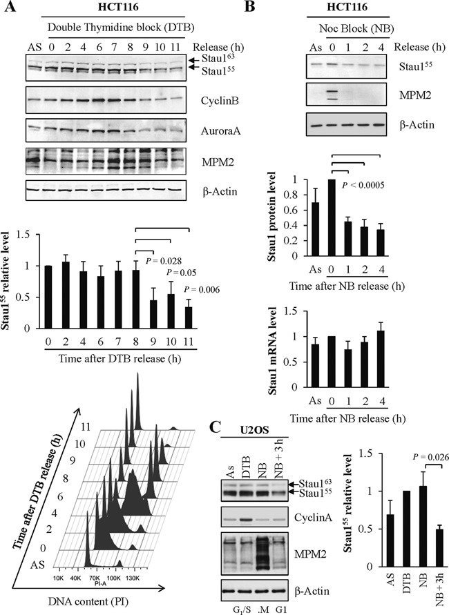 Stau1 protein levels vary during the cell cycle. (A