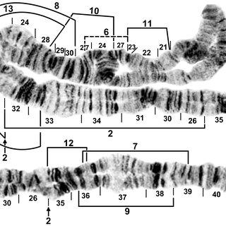 Chromosomal phylogeny of the Simulium suzukii/tani lineage