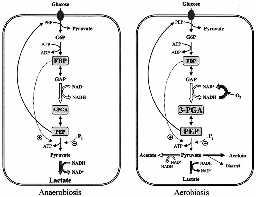 Schematic representation of glucose metabolism under