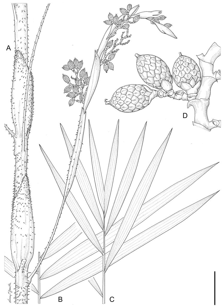 Calamus barfodii. A. Leaf sheath with ocreas and