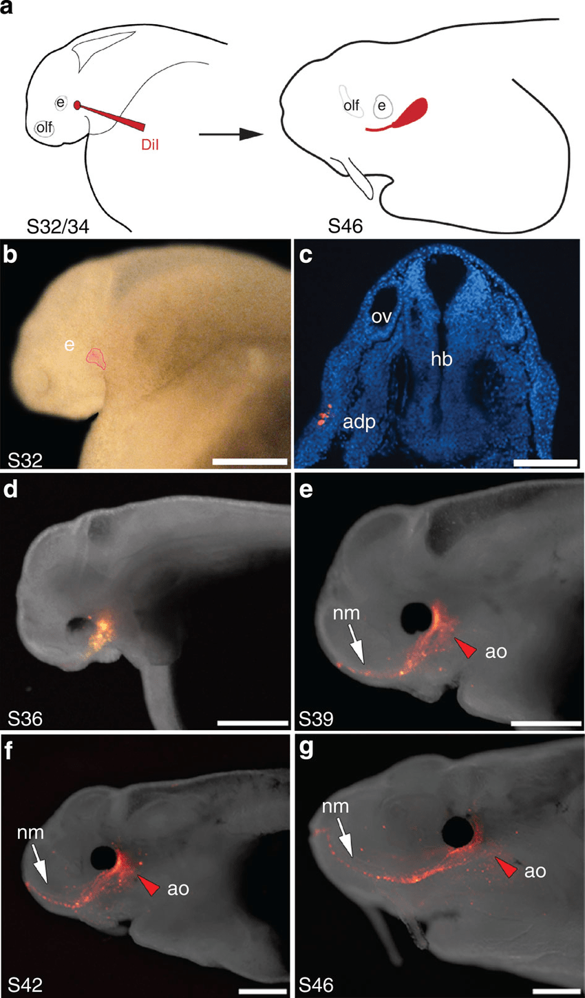 hight resolution of in vivo labelling of lateral line placodes a schematic of in vivo labelling