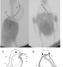 a b cineradiograph of a cooing ring dove during maximum inflation of the esophagus a lateral view b frontal view the course of the trachea around  [ 850 x 1120 Pixel ]