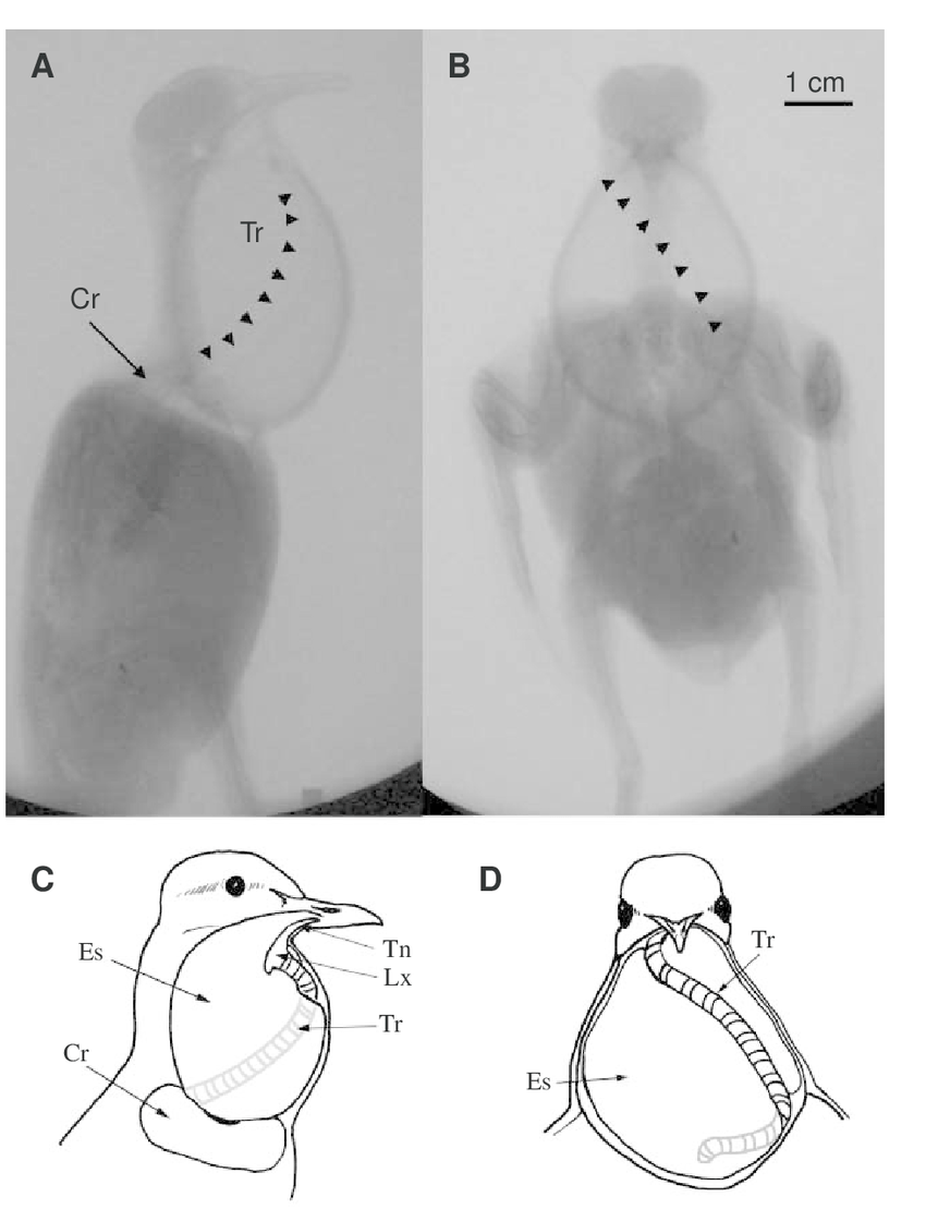 hight resolution of  a b cineradiograph of a cooing ring dove during maximum inflation of the esophagus a lateral view b frontal view the course of the trachea around