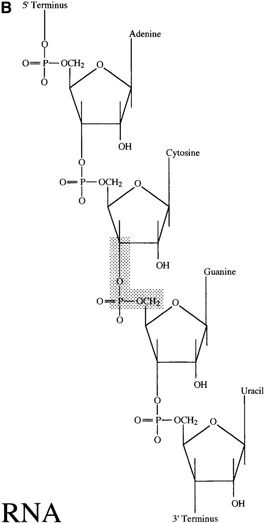 The chemical structure of repeating nucleotide subunits in