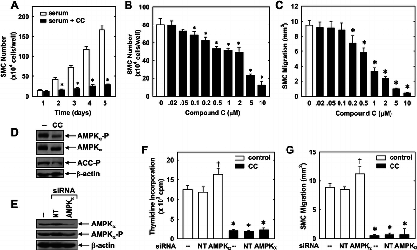 Compound C inhibits the proliferation and migration of