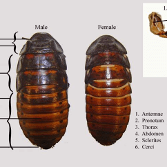 Hissing Cockroach Diagram 99 Jeep Grand Cherokee Radio Wiring External Anatomy Of Male And Female Madagascar Cockroaches,... | Download Scientific