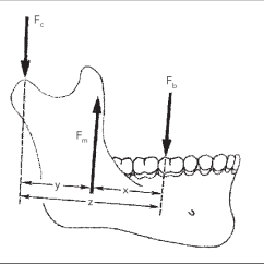Human Mandible Diagram 1996 Chevy 1500 Wiring Functioning As A Lever During Biting Along The Download Scientific