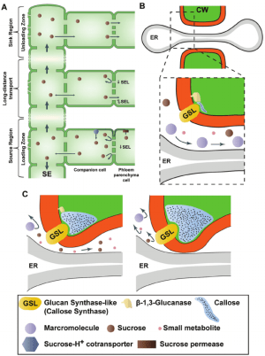 Plasmodesmata play a central role in controlling phloem