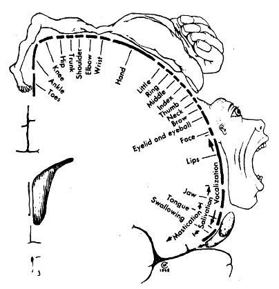 The primary motor strip of the cerebral cortex. (The