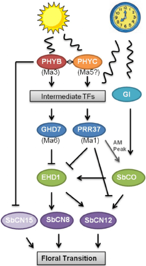 Model of the photoperiod flowering time pathway in shum