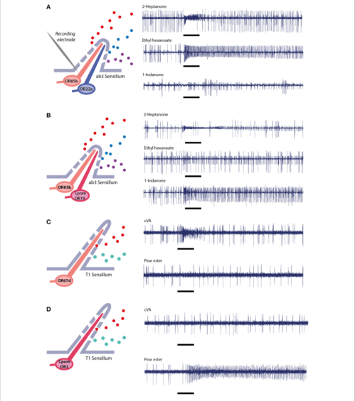 small resolution of single sensillum electrophysiological recordings in ab3 empty neuron system a wild