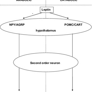 (PDF) Leptin in Morbidly Obese Patients: No Role for