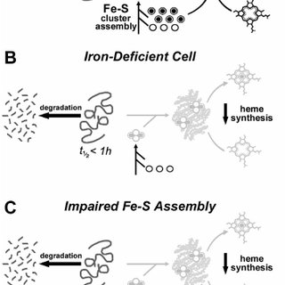 Newly formed, but not mature, FECH protein is susceptible