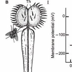 Photograph of an adult Venus flytrap (Dionaea muscipula
