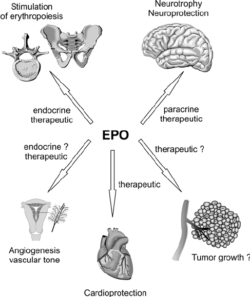 Target tissues of erythropoietin (EPO). Circulating EPO