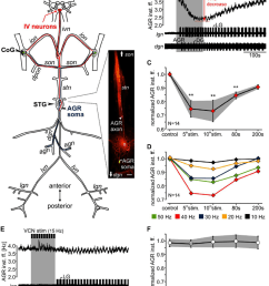 agr firing frequency diminished during iv neuron stimulation but was not influenced by vcn neurons a schematic of the stomatogastric nervous system  [ 850 x 1051 Pixel ]