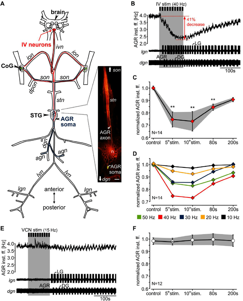 hight resolution of agr firing frequency diminished during iv neuron stimulation but was not influenced by vcn neurons a schematic of the stomatogastric nervous system