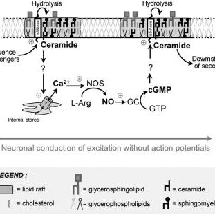 Inhibition of duodenal contractions triggered by
