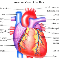 Interior Heart Diagram Es 335 Wiring Gibson Awesome For 1 Anatomy From The Anterior View Left And Right
