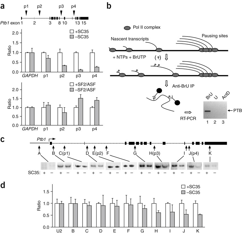 Requirement for SC35 in transcription elongation.(a) Total