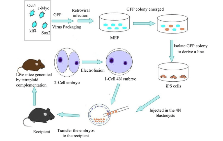 diagram of farm animals ceiling fan pull switch wiring schematic depiction production mice using ips cells and... | download scientific