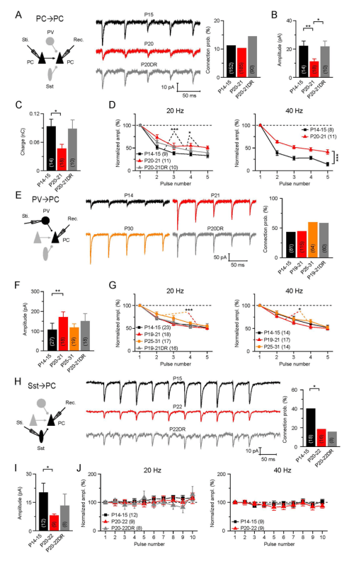 small resolution of selective modulation of stp of intracortical synapses onto layer 4 pc at the transition to cp