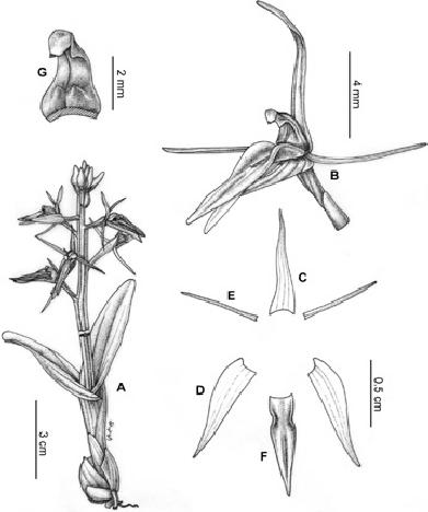 Liparis cheniana (from the holotype, drawn by Sun Yingbao
