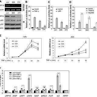 (PDF) LRP16 Integrates into NF-κB Transcriptional Complex