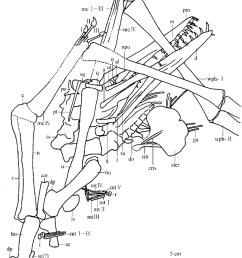 the outline of the skeleton of haopterus gracilis gen et sp nov  [ 850 x 1053 Pixel ]