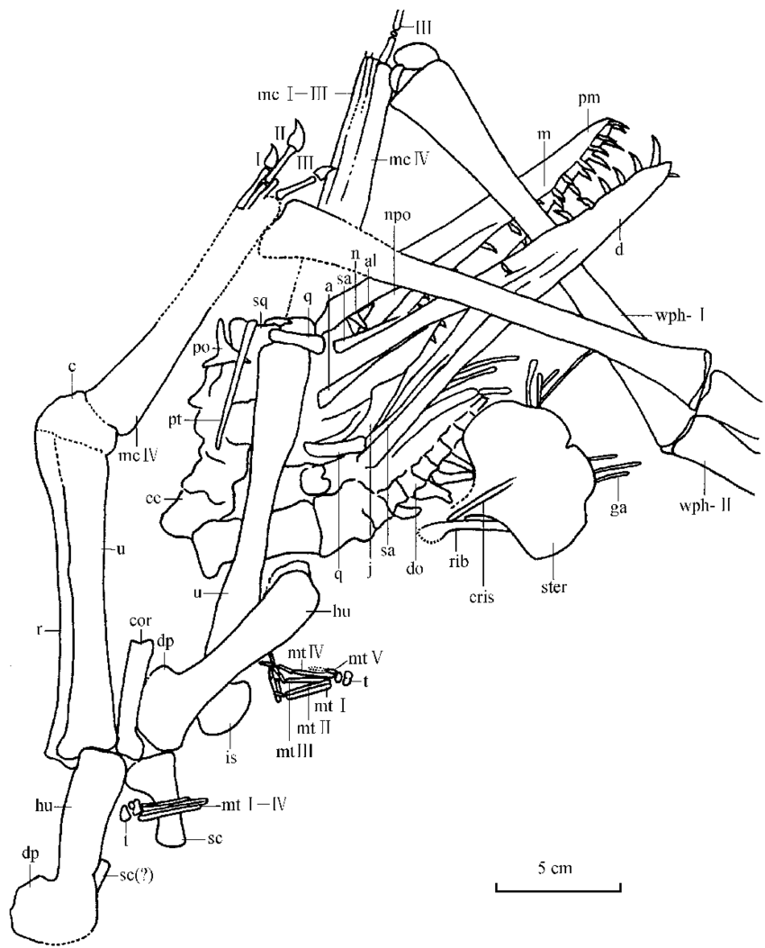 medium resolution of the outline of the skeleton of haopterus gracilis gen et sp nov