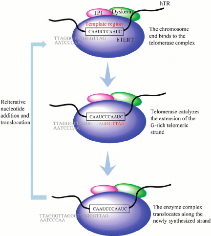 A simplified model showing the mechanism of telomere ...