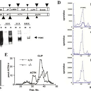 (PDF) Disruption of PC1/3 expression in mice causes
