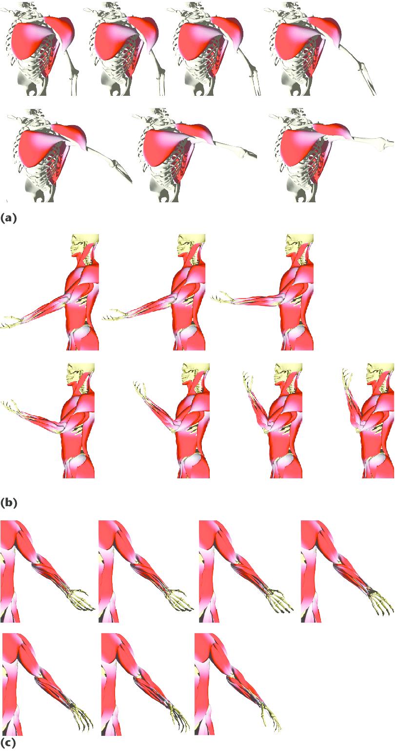 medium resolution of muscle deformation illustrations a pectoralis major deltoid and latissimus dorsi