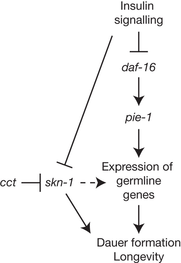 Model for the regulation of germline gene expression in